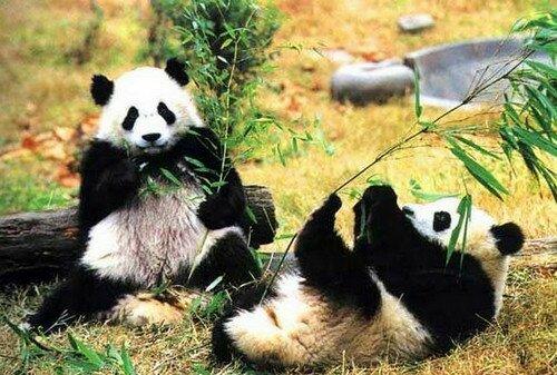 Панды в Пекинском зоопарке