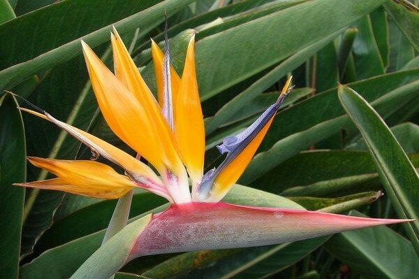 Цветок стрелиция символ мадейры