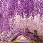 Вистерийская История Парка Цветов Асикага