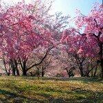 Ханами — праздник цветения сакуры