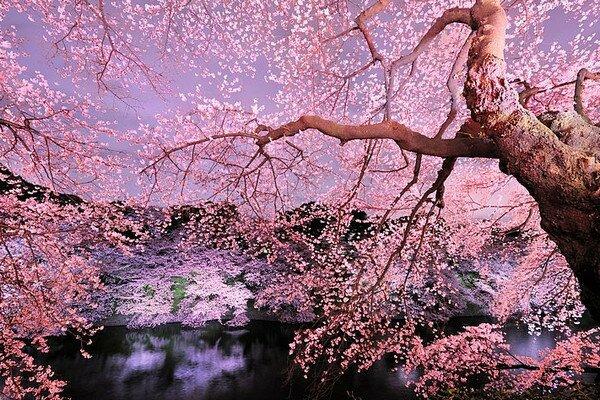 Ханами. Цветение Сакуры в Японииё