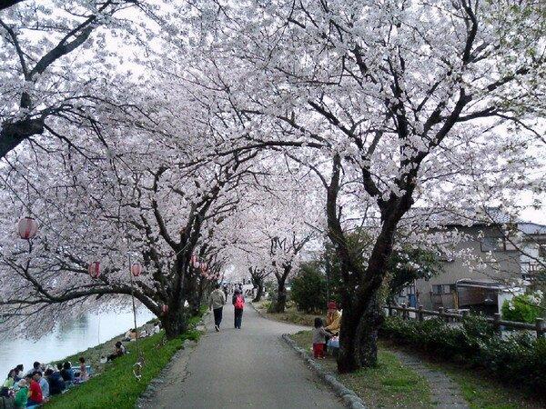 Ханами. Цветение Сакуры в Японии