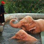 Это не галлюцинация, это действительно розовые слоны