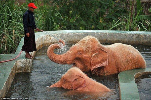 Розовые слоны в Бирме